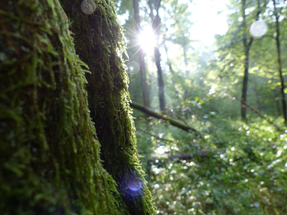 Las. Omszałe pnie wysokich drzew. Promienie słońca oświetlają bujną roślinność.
